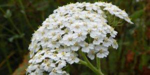 Какие кровоостанавливающие травы можно использовать при маточных кровотечениях