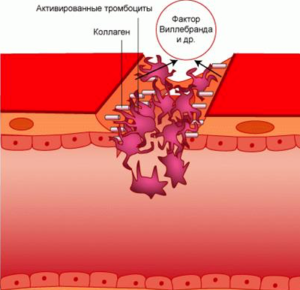 Почему могут быть повышены палочкоядерные нейтрофилы